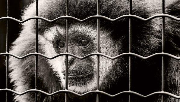 Monkey, Captivity, Sad, Imprisoned