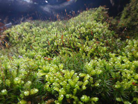 Moss, Green, Nature, Forest, Environment, Natural