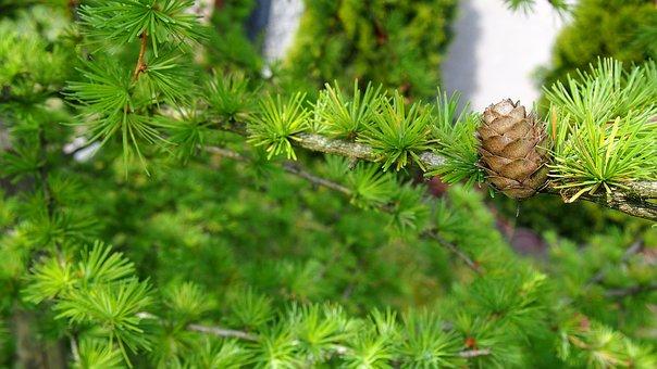Pine Cone, Larch, Sprig, Closeup, Nature, Larch Needles