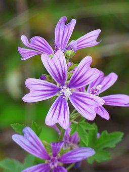 Mallow, Flower Silveste, Beauty, Petals