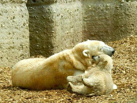 Polar Bear, Polar Bear Cub, Polar Bear Baby