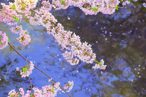 Cherry, Japan, River, Flowers, Spring, Pink, Wood