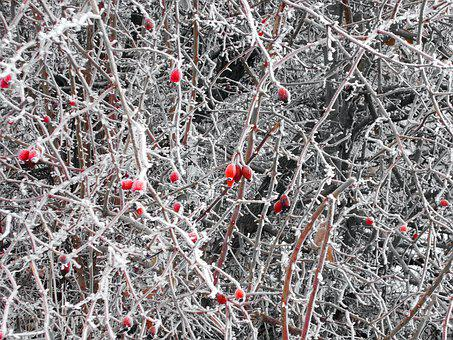 Rose Hip, Wild Rose, Hedge, Frost, Thorn Hedge, Winter