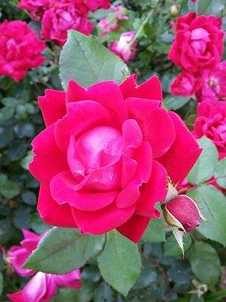 Roses, Single Rose, Blossom, Flower, Red Roses, Love