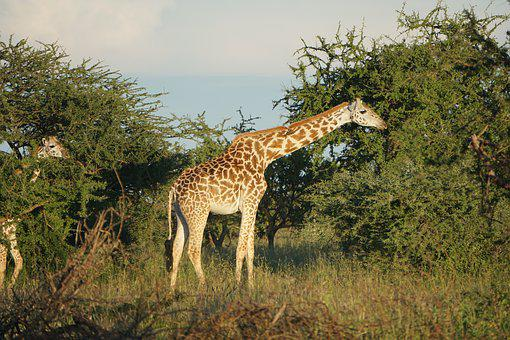 Giraffe, Savannah, Africa, Safari