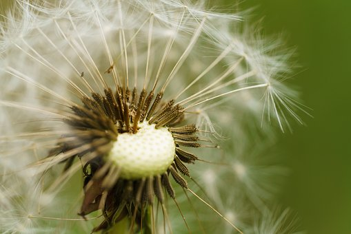 Dandelion, Seeds, Blossom, Bloom, Dandelion Seeds