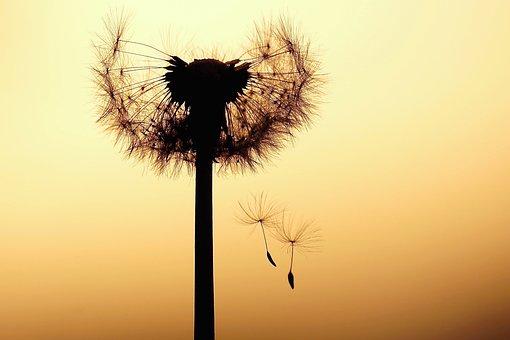 Dandelion, Abendstimmung, Seeds, Flower