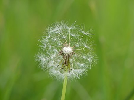 Dandelion, Seeds, Meadow, Green