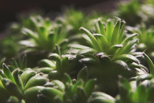 Succulents, Greenery, Sempervivum, Nature, Plant