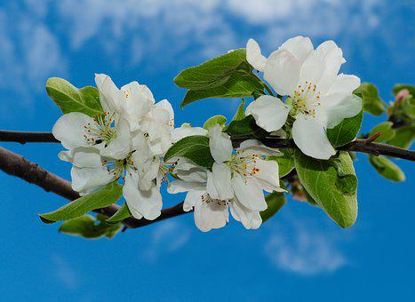 Flowers, Apple, Blossoming, Sky, Branch, Blue, White