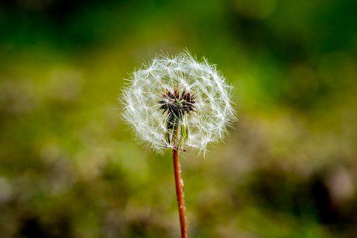 Dandelion, Seeds, Flower, Summer, Spring, Plant, Growth