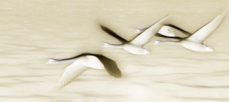 Swan, Fly, Birds, Swans, Waterfowl, Water, Water Bird