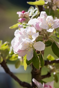 Apple Tree Flowers, Tree Blossoms, Apple Blossom