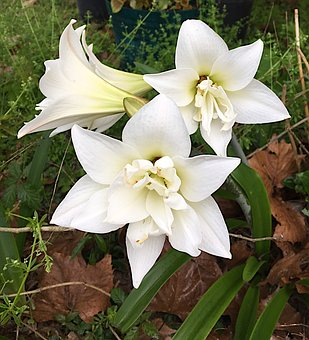 Amaryllis, Blossoms, White, Flower, Floral, Blooming