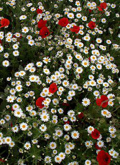 Flower Head, Wild, Carpet Of Flowers, White, Red