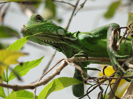 Animal, Reptile, Iguana, Wildlife, Lizard, Wild