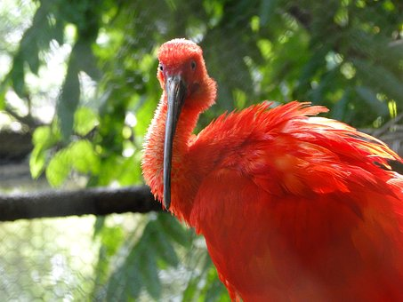 Scarlet Ibis, Bird, Re, Red, Nature, Tropical, Wildlife