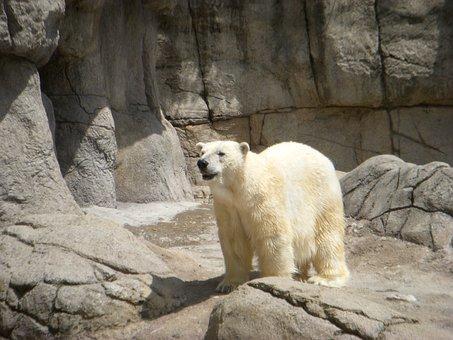 Polar Bear, Bear, Zoo Animal