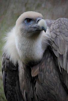 Vulture, Feathers, Bird, Beak, Bird Of Prey, Zoo