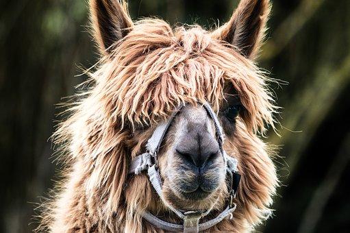 Lama, Fur, Portrait, Animal, Head, Fluffy, Hair, Alpaca