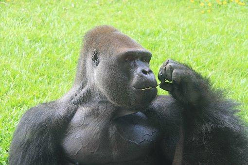 A Silver Back Gorilla, Zoo, Eating, Ash Black, Captive