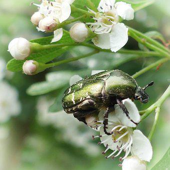 Beetle, Rose Beetle, Insect, Flowers, Nature