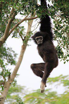 Gibbon, Long, Hanging, Elastic, Tree Wood, Ash Black