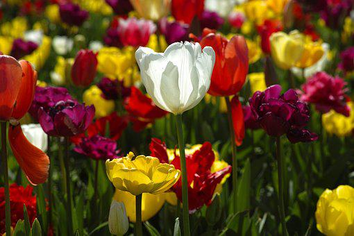 Tulips, Flower, Flowers, Nature, Plant, Red, Spring