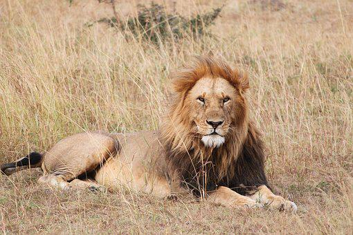 Lion, Safari, Africa, Wild, Wildlife, Animal, Nature