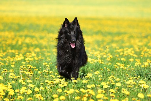 Dog, Dandelion, Pet, Animal, Spring