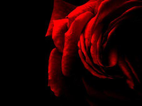 Rose, Red, Red Rose, Flower, Romance, Nature, Valentine