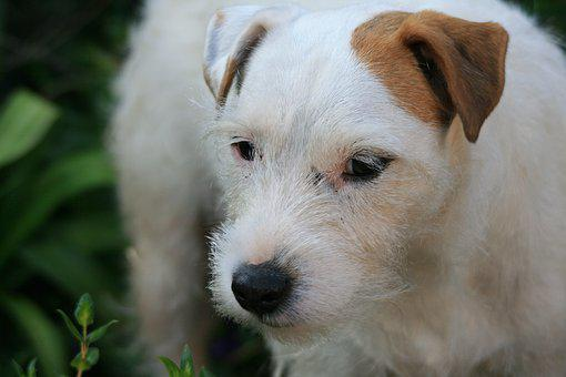 White Jack Russell, Dog Terrier, Dog, White, Ear, Brown