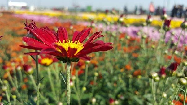 Chrysanthemum, Autumn, Flower