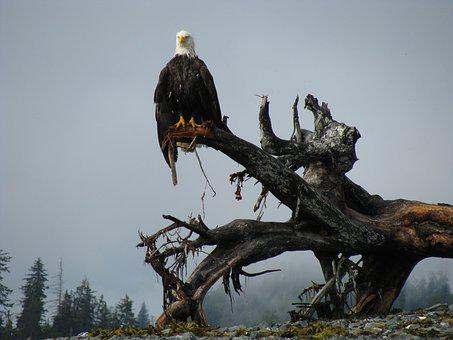 Bald Eagle, Alaska, Bird, Nature