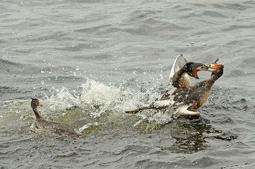 Grebe, Bird, Waterfowl, Torque, Couple, Fighting