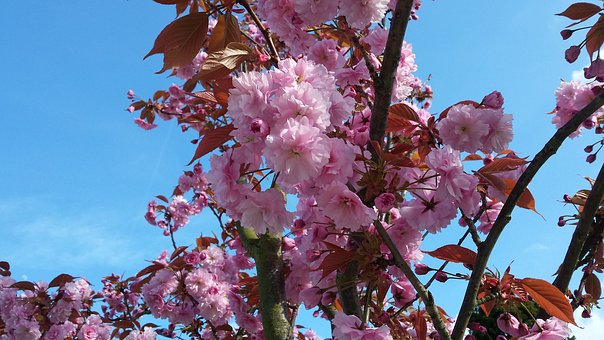 Spring, Blossom, Pin, Pink, Blooming, Bloom, Nature