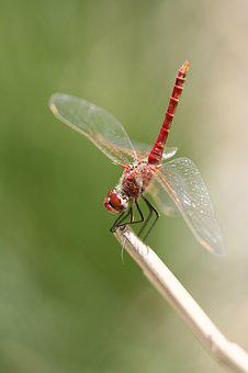 Dragonfly, Red, Insect, Wing, Fly, Macro, Animal