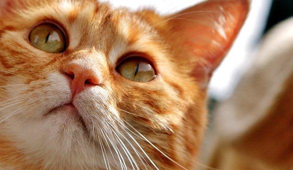 Cat, Eyes, Cat's Eyes, Face, Tiger, Mackerel, Red Cat