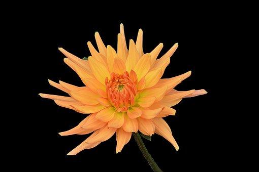 Chrysanthemum, Flower, Petals, Flowering, Garden