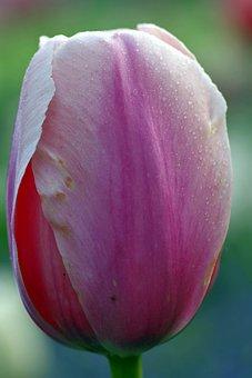 Flower, The Petals, Tulip, Violet, Macro, Rosa, Drops