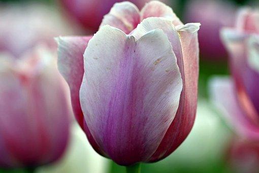 Tulips, Violet, Pink, Garden, Flowerbed, Spring