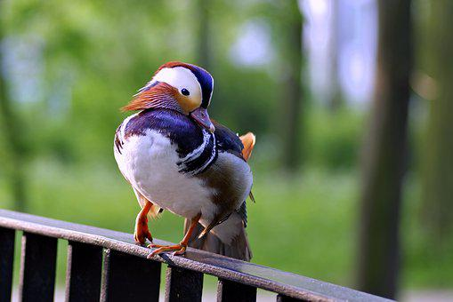 Mandarin, Bird, Duck, Colored, Dashing, Hybrid