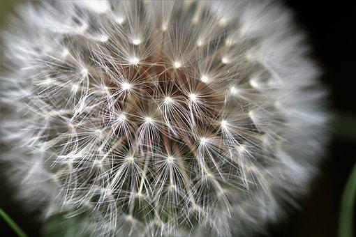 Dandelion, Faded, Fluff, Ovary, Seed, Soft, Fragile