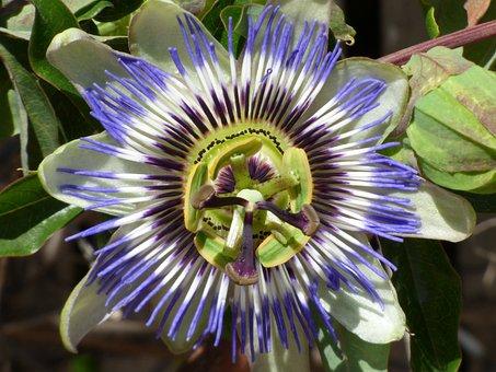 Passiflora, Passion Flower, Detail, Beauty