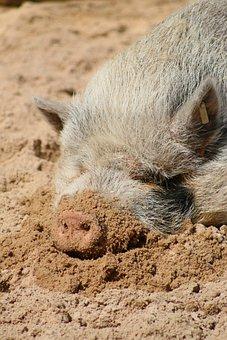 Pig, Hairy, Sunny, Sleeping, Animal, Mammal, Fur
