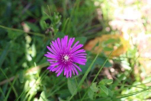 Flower, Purple, Pink, Purple Flower, Purple Flowers