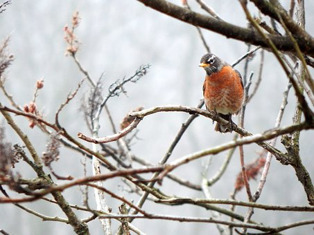 Bird, Robin, Female, Animal, Nature, Wildlife, Branch