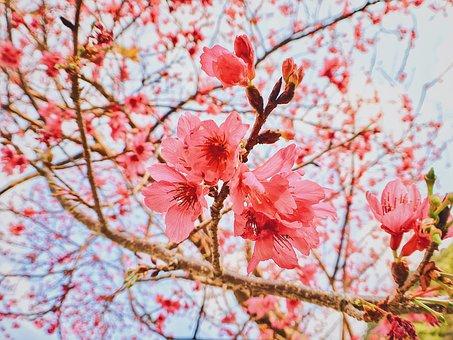 Cherry Blossoms, Flower, Spring