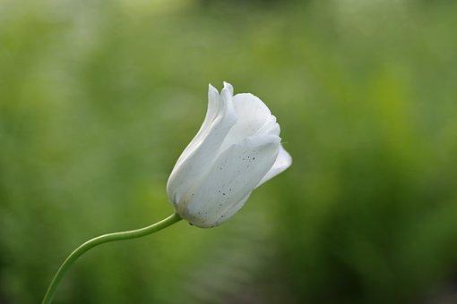 Flower, White, Tulip, Single, Garden, Gentle, Spring