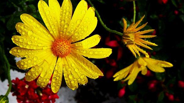 Flora, Flowers, Margaretka, Color, Yellow, Drops